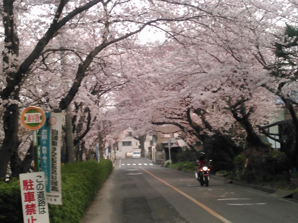 天王川桜のトンネル