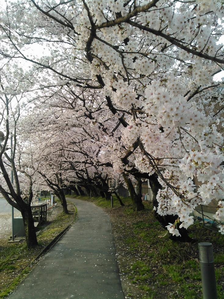 津島高校グランド横の桜並木
