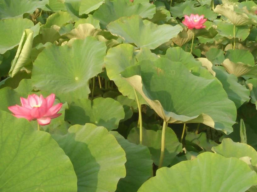 花はす-1